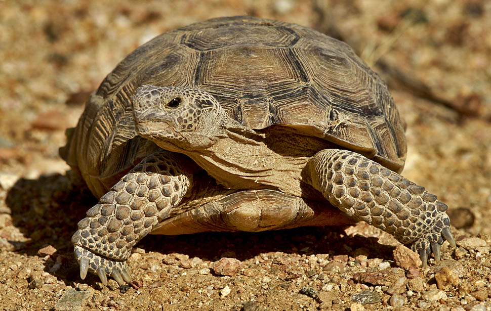 the way of life and survival of a desert tortoise Desert tortoise tales  quality life who knew a simple tortoise could touch  johnson's office said that was way too much moisture for any desert tortoise,.