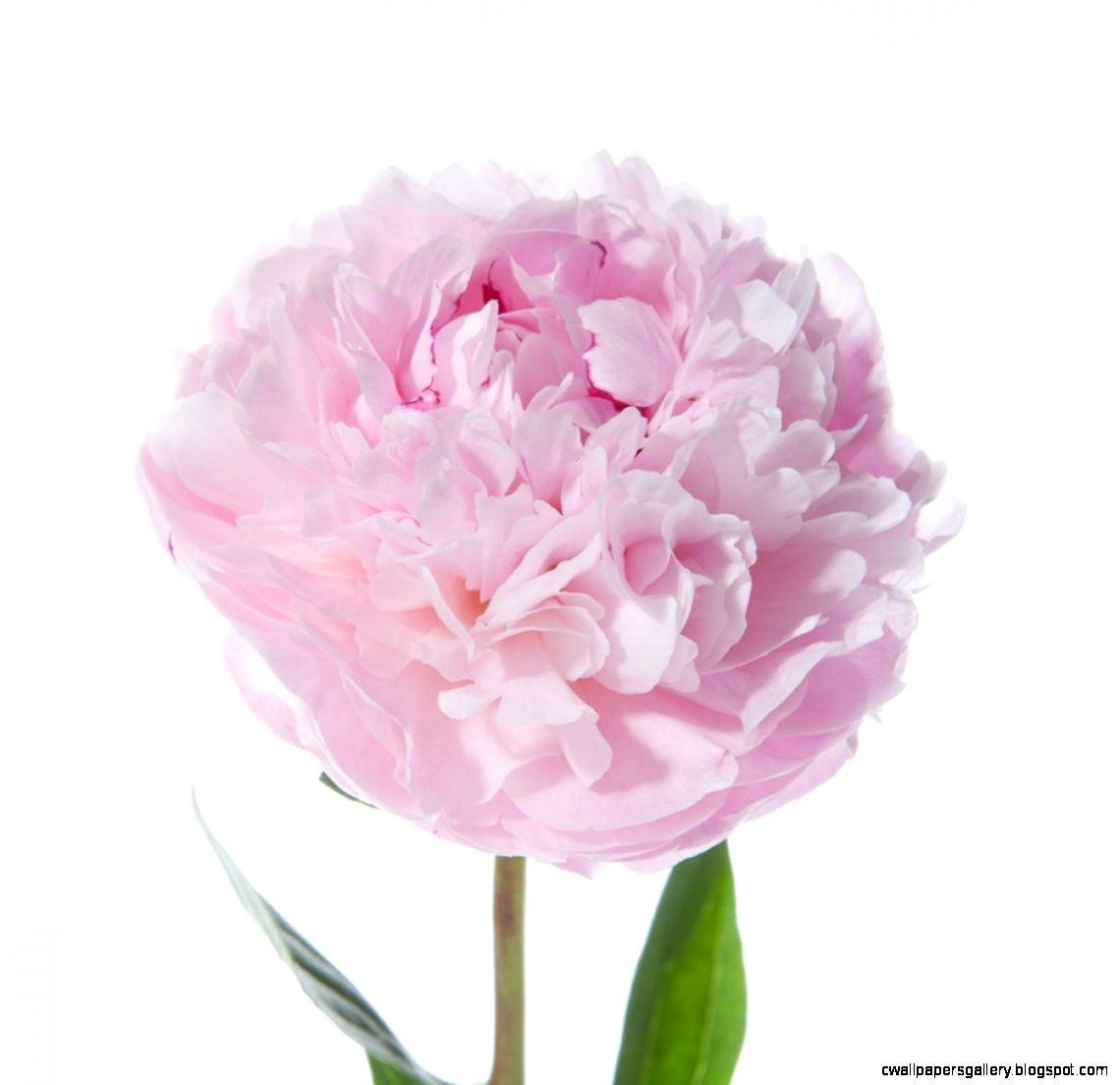 Light Pink Peonies   Peonies   Types of Flowers  Flower Muse