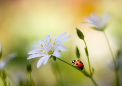 Insectos - Catarina exploradora sobre las flores del campo