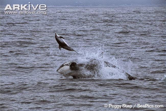 Orca kill dolphin