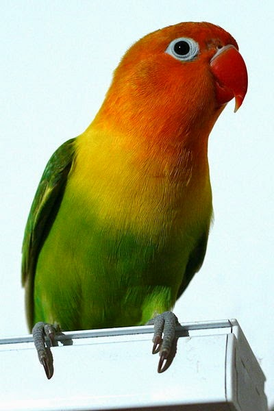 Gambar Cara Merawat Burung Lovebird Hijau