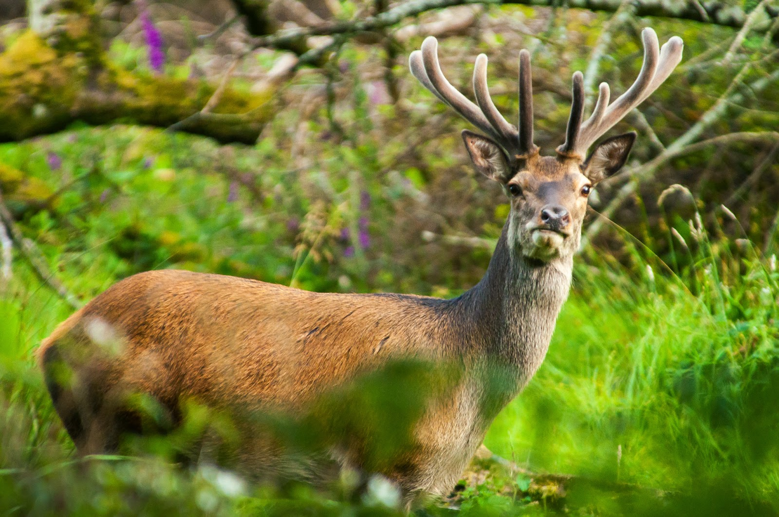 Red Deer Stag, Killarney National Park