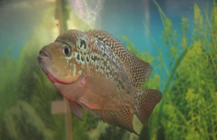 Flowerhorn the hybrid cichlids king kamfa 1 for Flower horn fish