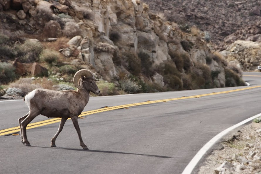 Bighorn sheep on Highway 74 October 2014