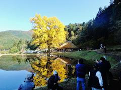 金言寺の大銀杏(島根県奥出雲町大馬木)