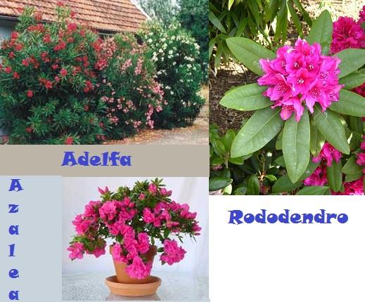 Adelfa_Rododendro_Azalea_toxicas