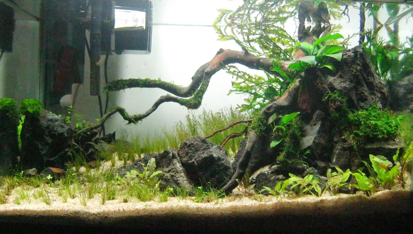 Iwaqu toko ikan hias aquascape ikan hias aquarium dan aksesories - Gambar aquascape ...