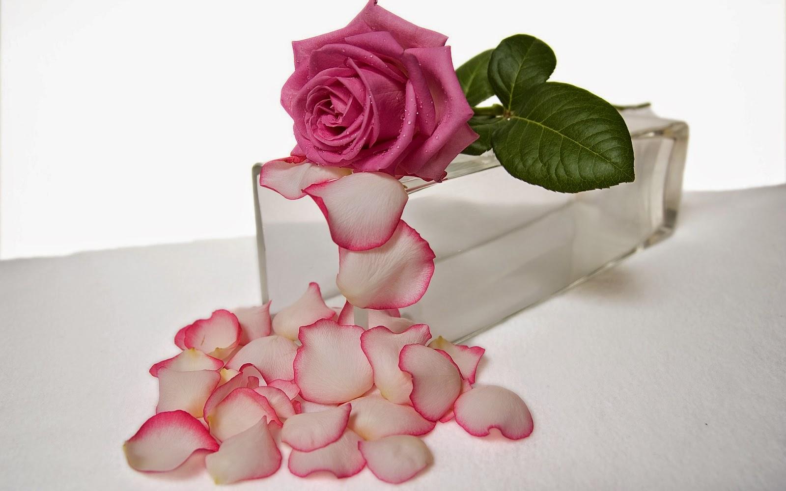 Pink Rose Hd Wallpapers Flowershdwallpapers