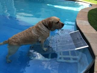cães salvando em piscinas