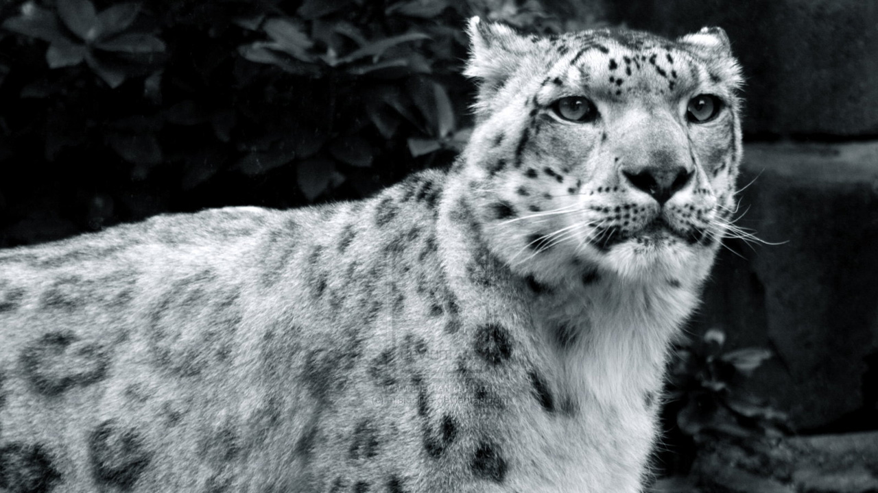 snow leopord hd wallpapers 720p hd wallpapers high