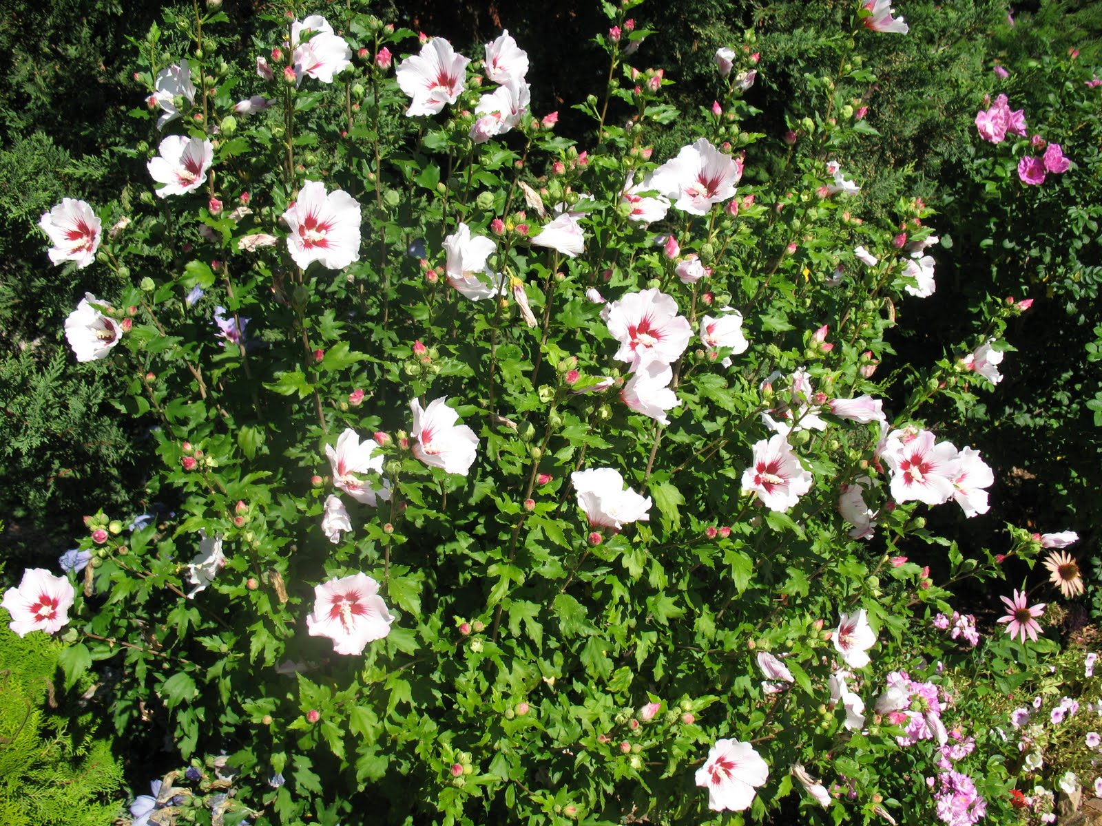 8 graines d 39 hibiscus syriacus red heart h170 althea rose of sharon seeds ebay. Black Bedroom Furniture Sets. Home Design Ideas