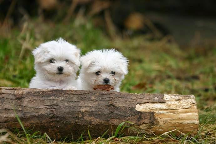 3 maravilhosos cães de companhia - Raça Maltês