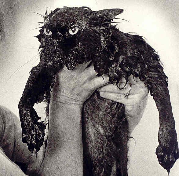 Kuinka usein kissan saa pestä?  Pandalicious!