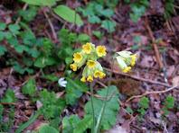 Primavera o flor de cucut (Primula veris) a tocar de la Riera de Clarà
