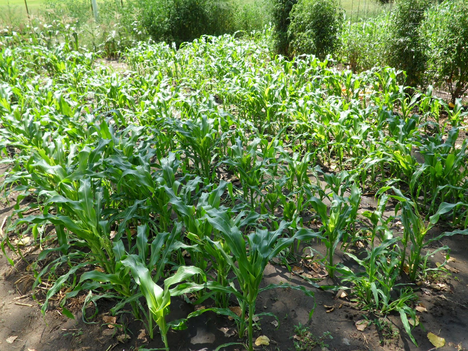 The Corn I Grew In My Small Aquaponics System Last Year Grew About 50%  Faster Than The Corn I Grew Alongside It In The Dirt Garden, And I Have  Little Doubt ...