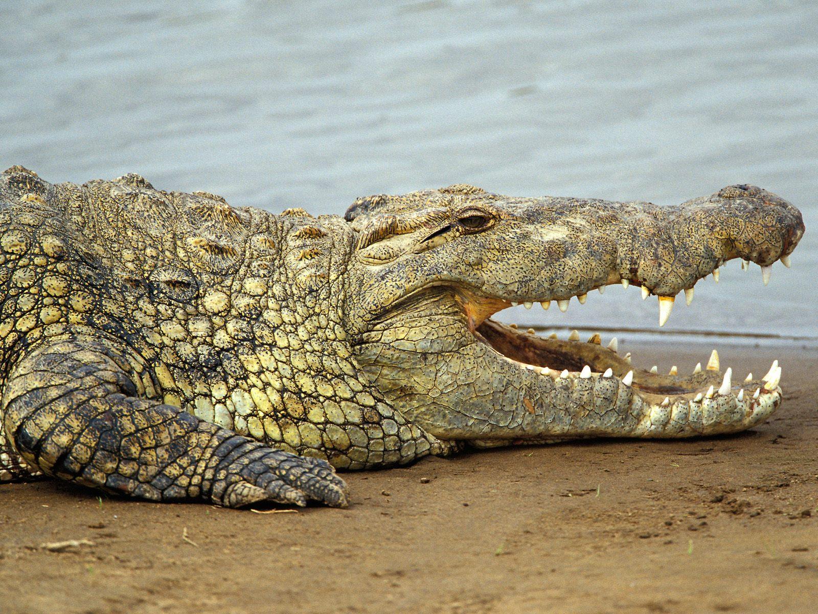 Nile crocodile eating zebra - photo#26