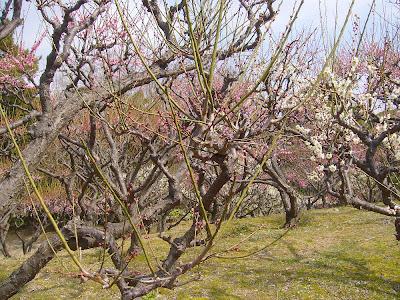 兵庫県・伊丹市 緑ヶ丘公園の梅
