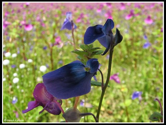 Utricularia purpurascens (सीतेची आसवे)