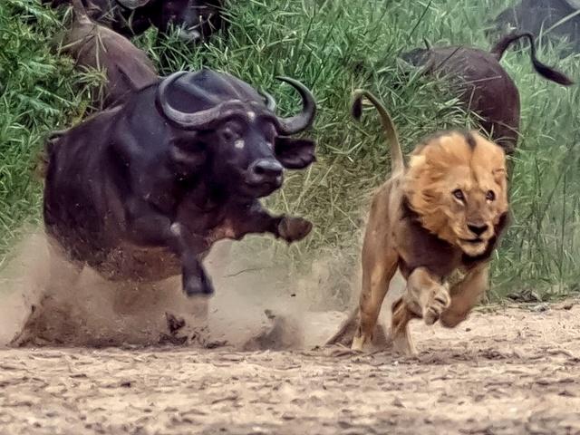 Kafferbøffel angriber løve