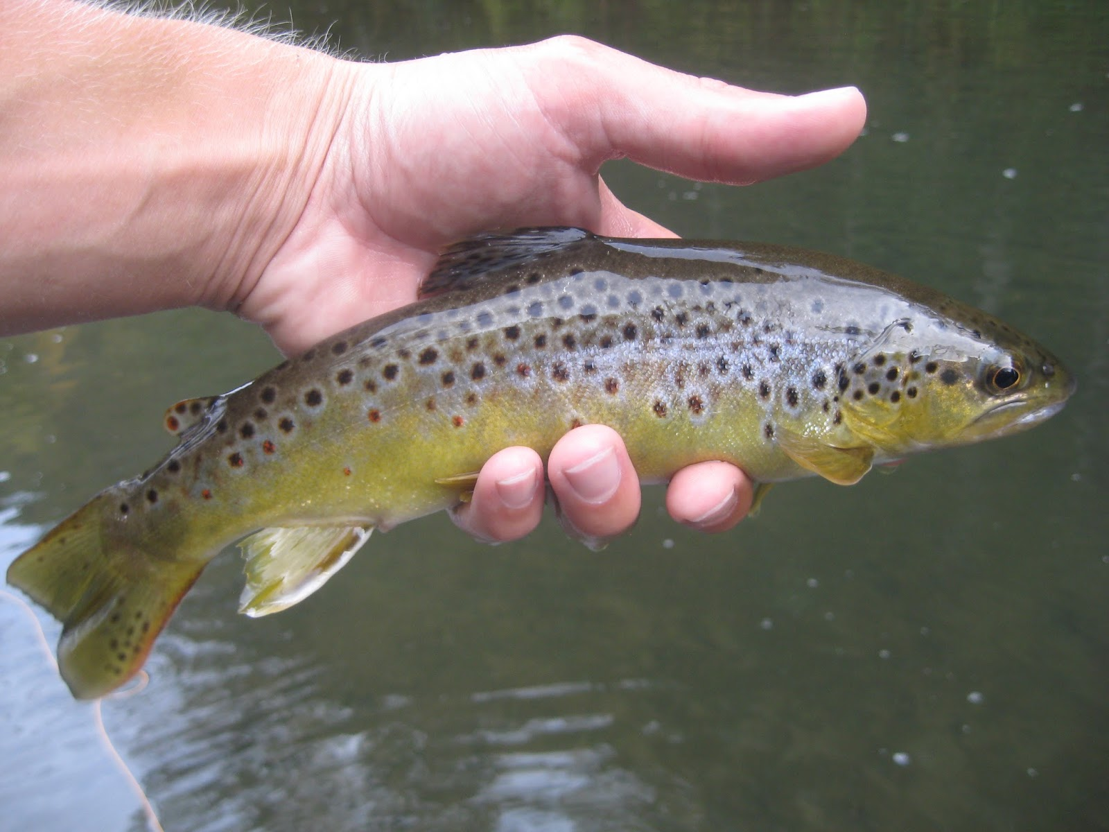 Minnesota driftless fly fishing trip report stalking for Driftless fly fishing