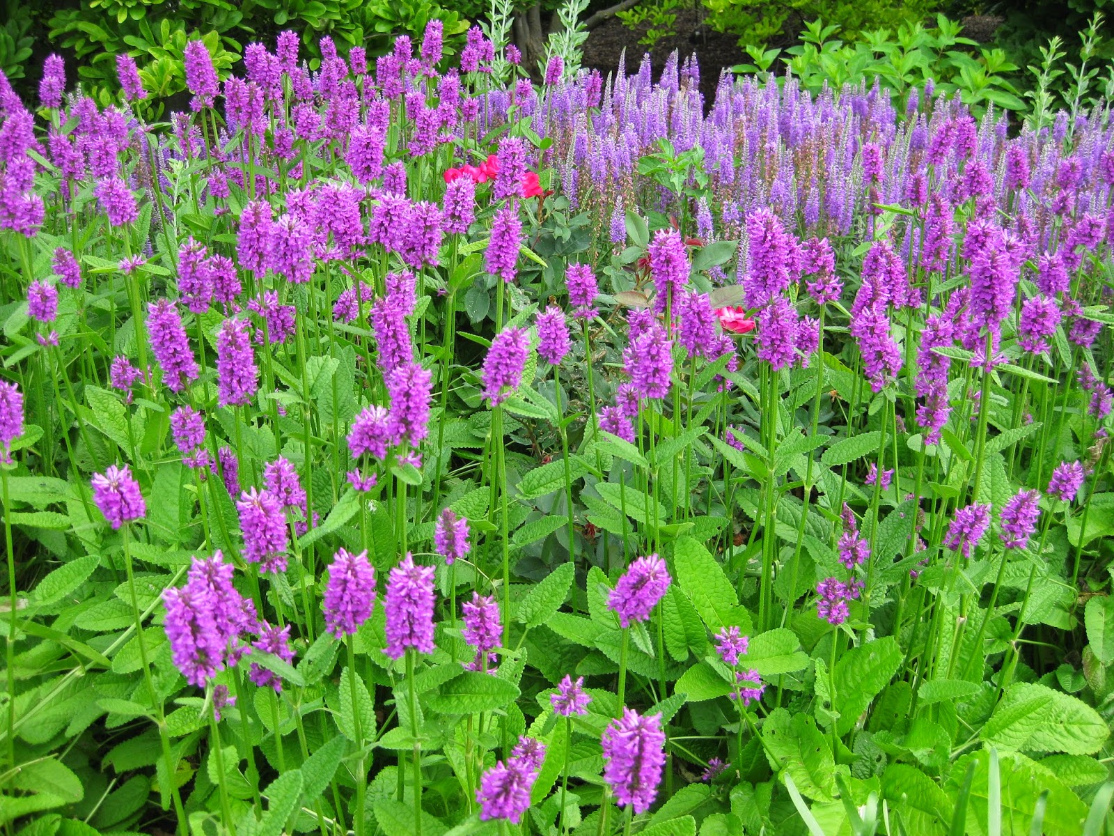 Wood betony stachys officinalis rotary botanical gardens for Perennial wood