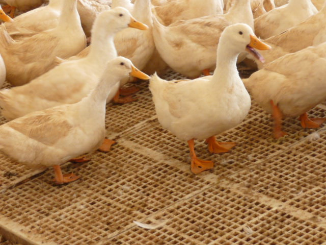 Metzer Farms Duck and Goose Blog: How Do I Keep It Dry Around My ...