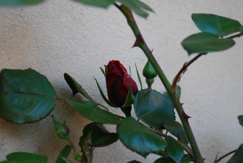 bocciolo rosa rossa
