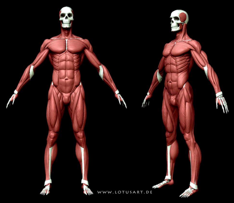 3d anatomyspringgouette