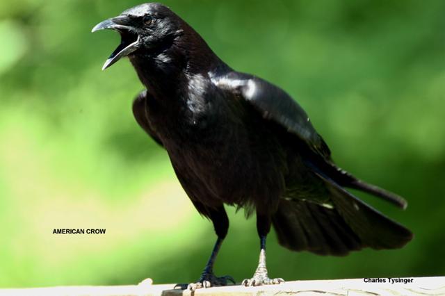 Crow, Calling Crow, Black