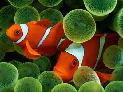 Recommendation On Clownfish Treatment And Spawning - Sheena Says