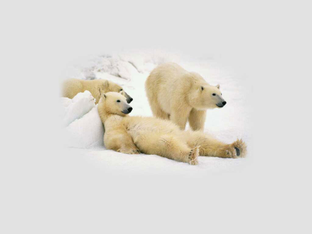 polar bear wallpapers - pets cute and docile