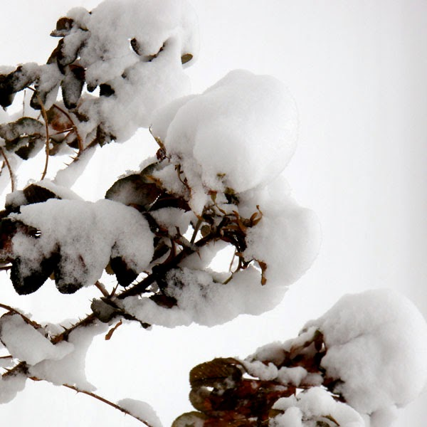 Snow Covered Rose Bush - Snow Photograph