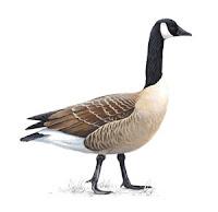 goose bird