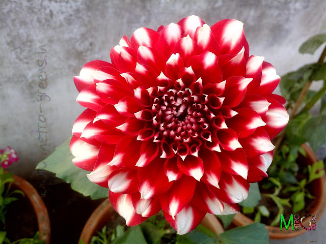 Metro Greens: The red dahlia bloom
