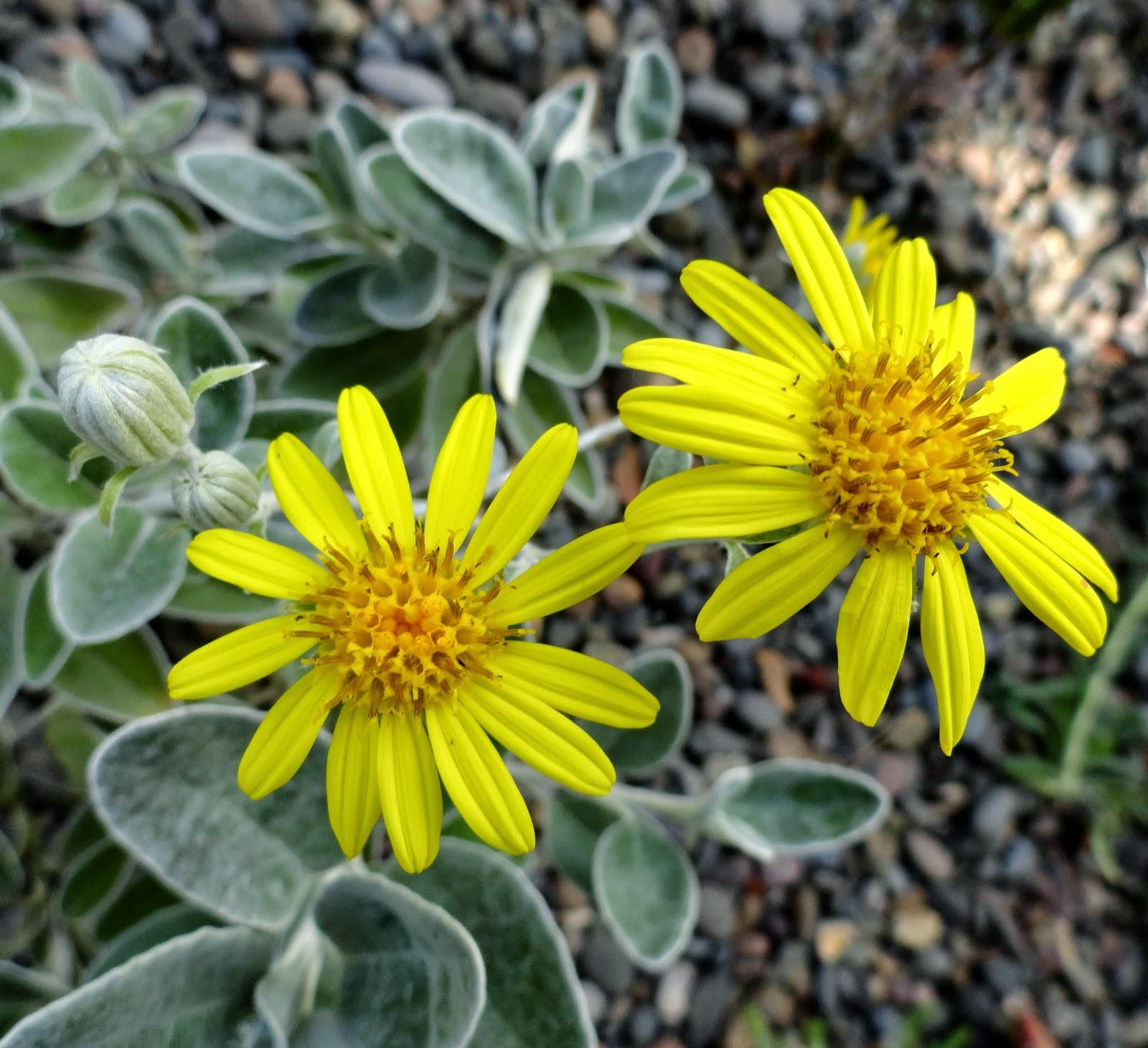 Danger Garden Brachyglottis Greyi Is My Favorite Plant In The