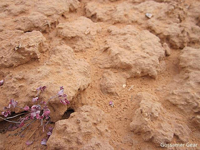 dyeing desert flower