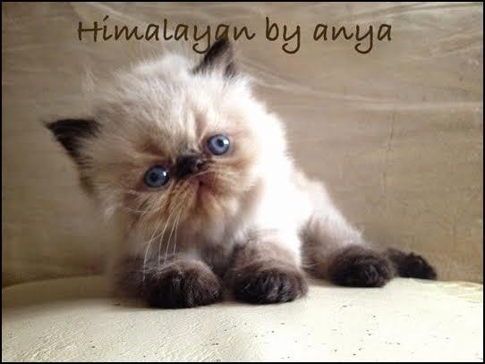 Himalayan By Anya