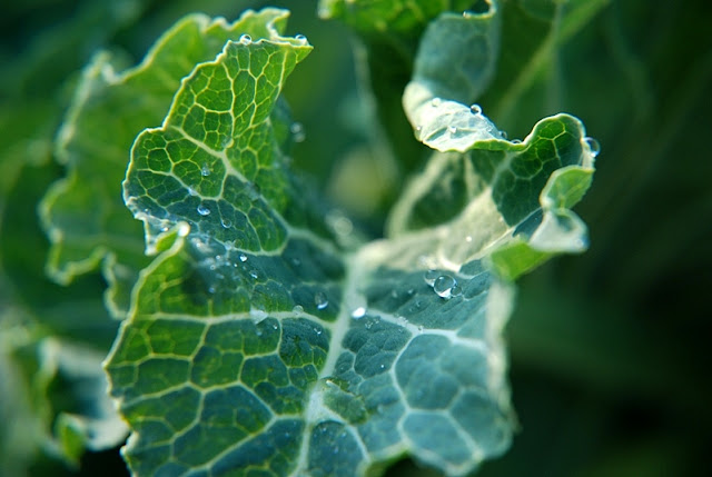 Close up of a cabbage bejewelled with dew.