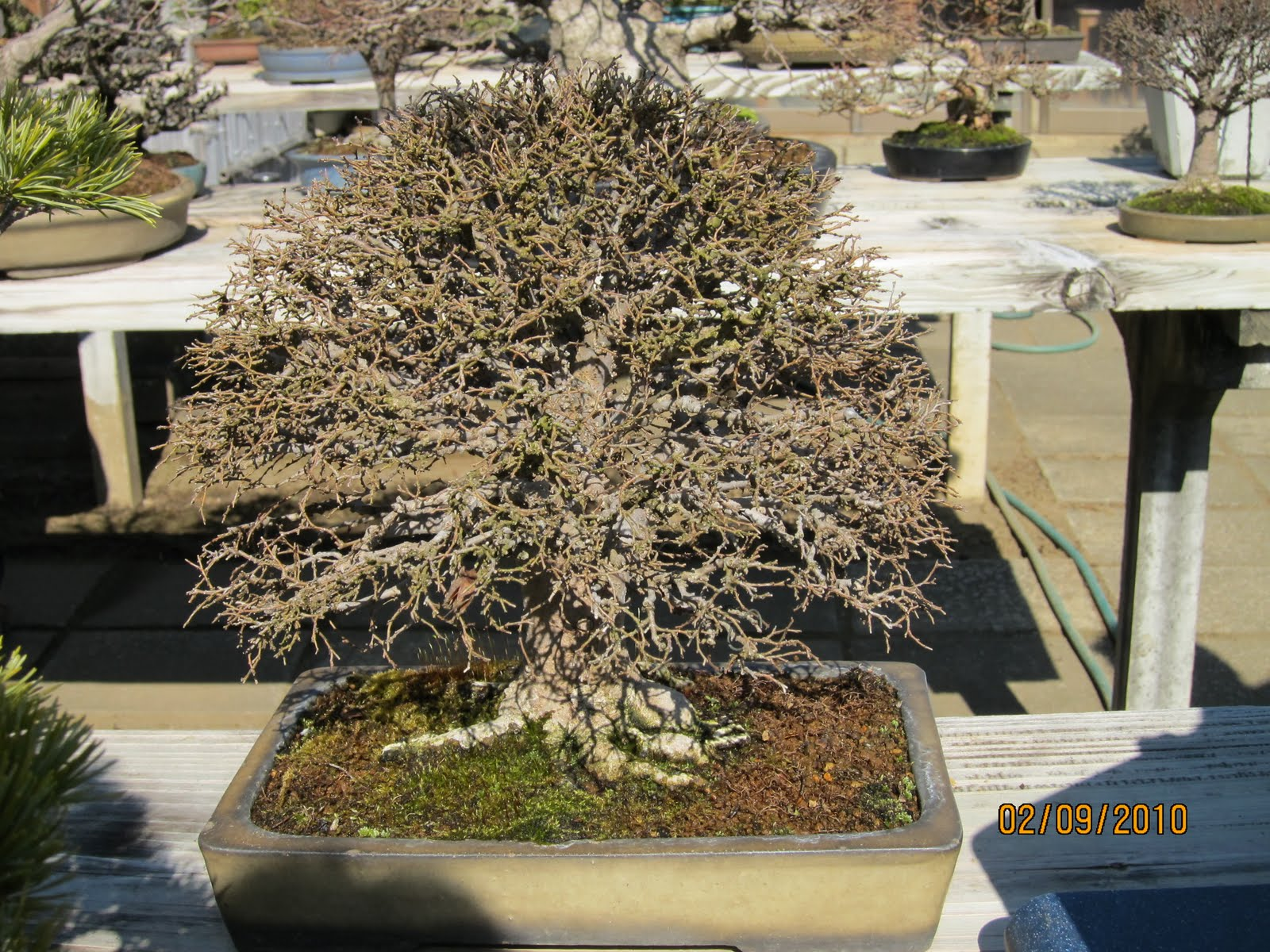 Ashfield Bonsai Club July 2011