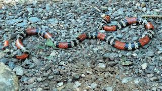 Cobra coral verdadeira no Eco Parque Cia Aventura, em Nova Roma do Sul