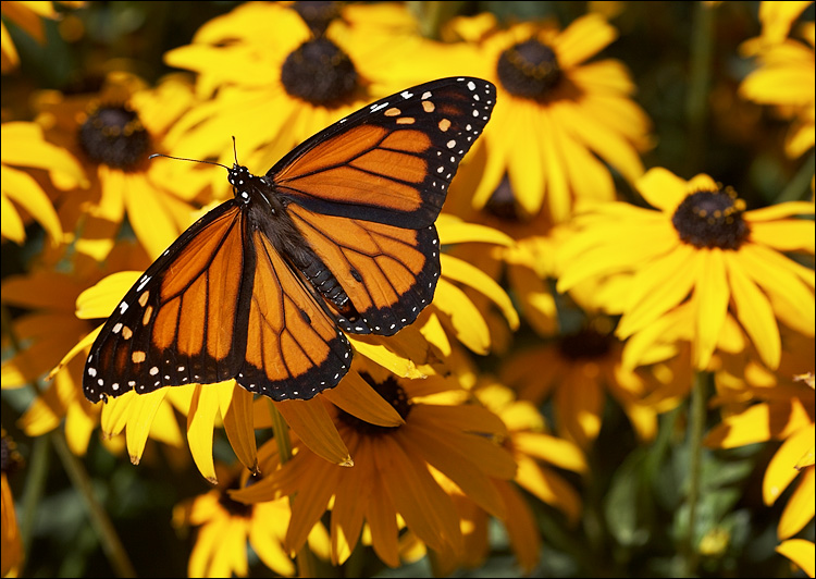 pics of butterflies. of butterflies pics