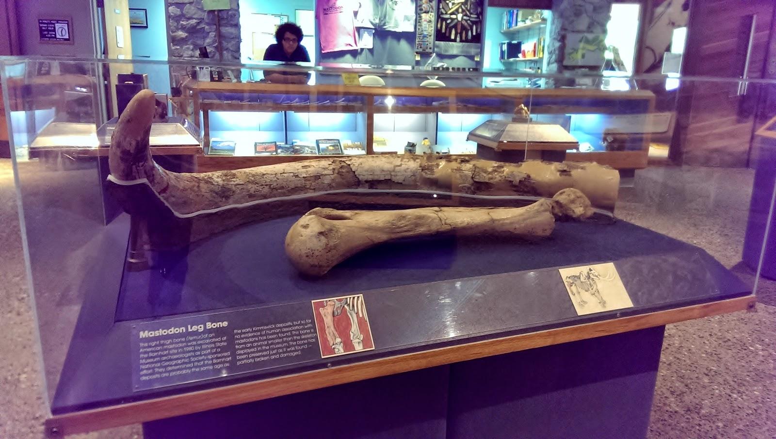 Largest Beaver Skeleton Giant Beaver The Largest