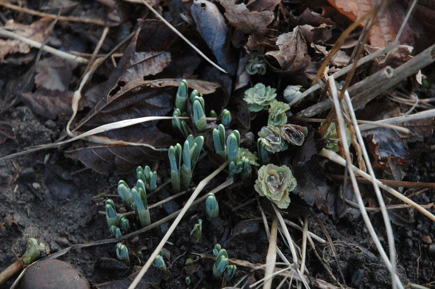 Emerging bulbs and new aquilegia foliage are welcome signs of regrowth