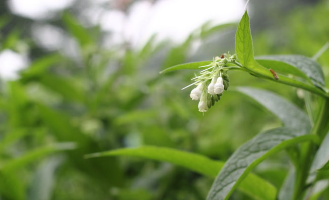 Comfrey Flowers Pictures