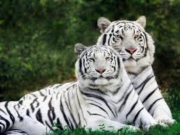 Les animaux en voie de disparition les tigres blancs ne - Tigre polaire ...