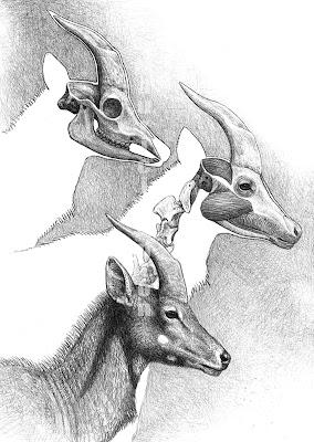 Tragoportax skull