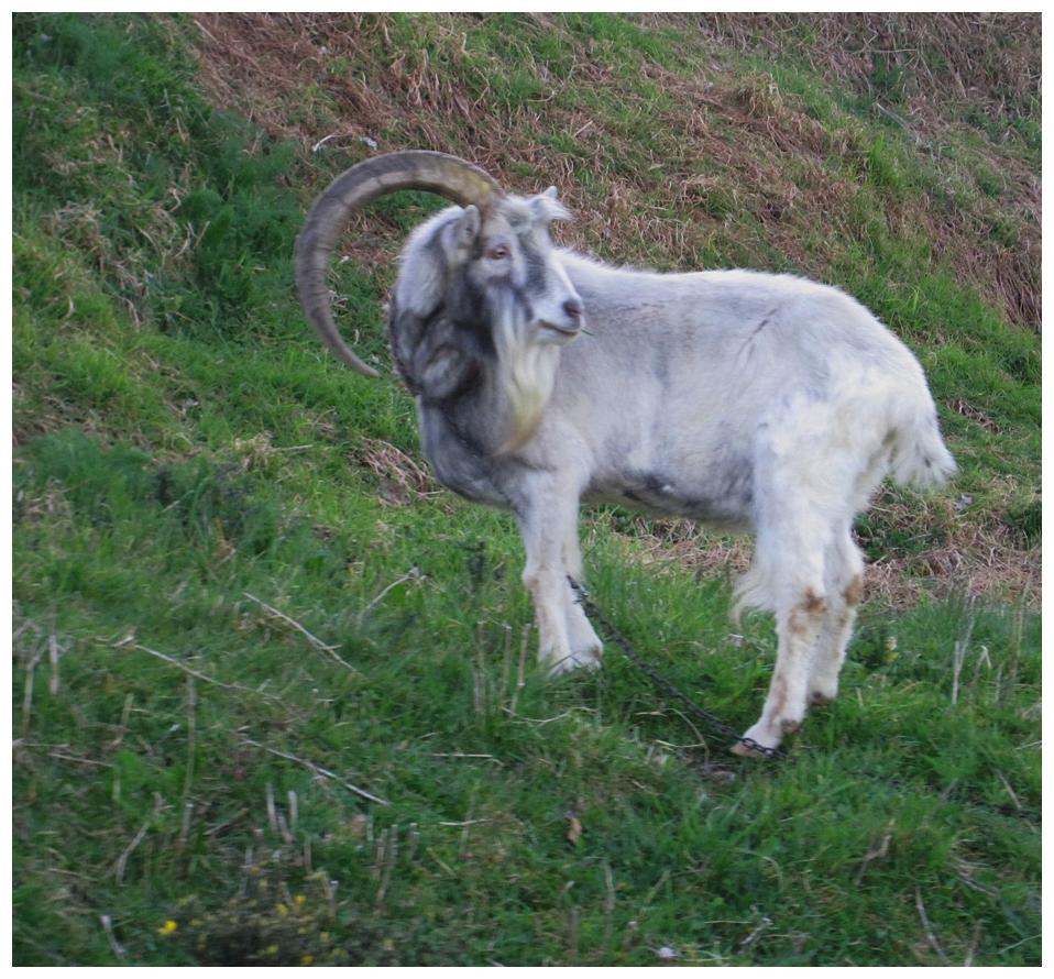 single horned goat Düsseldorf