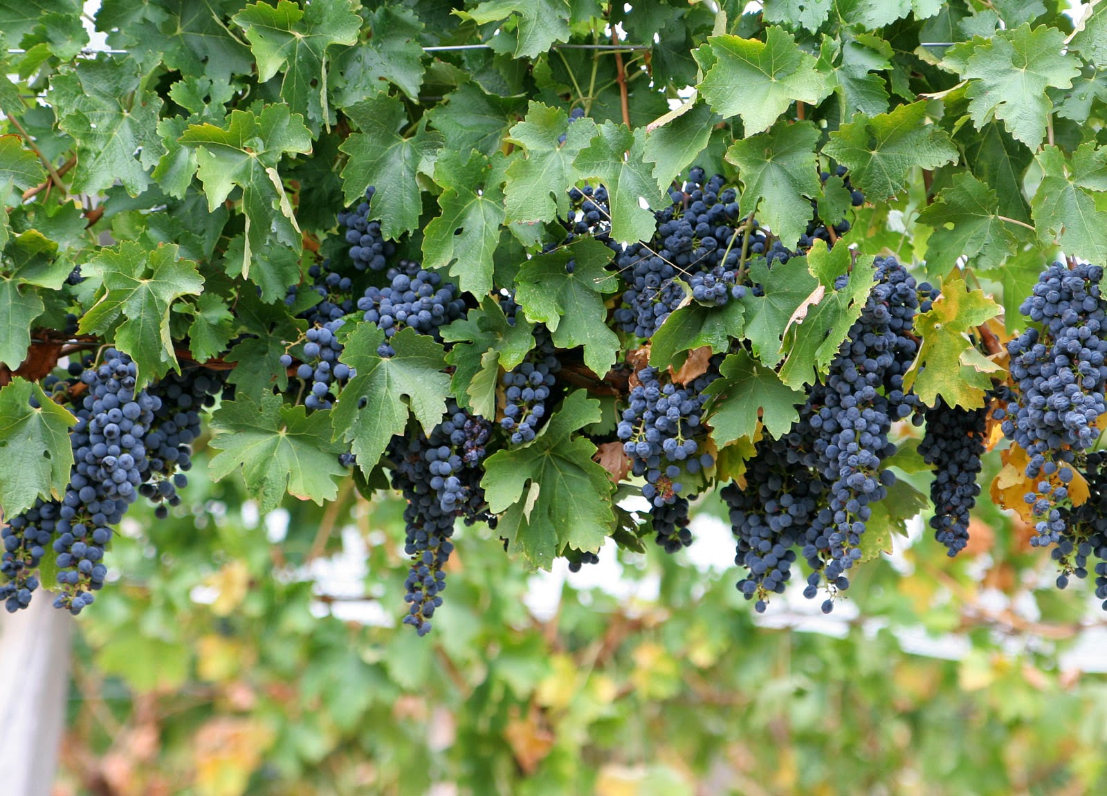 Fruit Fresh Or Dried Raisin Currant Sultana In Wine Production Purple Black Red G Contains Resveratrol Which Has Amazing Benefits