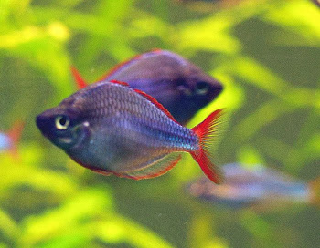 Akvaryum gökkuşağı balığı hakkında bilgi