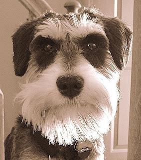miniature schnauzer pets dog puppy puppies photo animal wallpaper